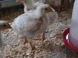 طرح توجیهی پرورش مرغ گوشتی به ظرفیت 10000 قطعه